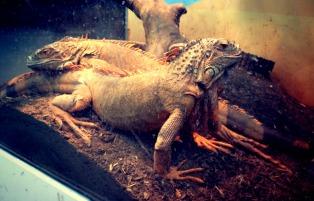 Komodos! — at Coex Aquarium.