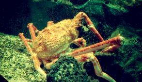 Spider crabs. Look at little Mr. Fish next to him! — at Coex Aquarium