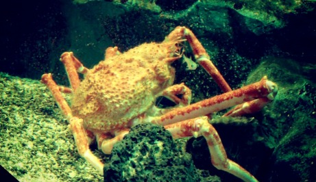 Spider crabs. Look at little Mr. Fish next to him! — at Coex Aquarium