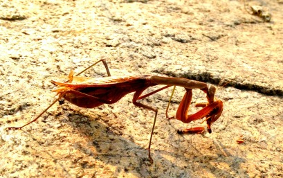 Brown praying mantis feeding. Yuck.