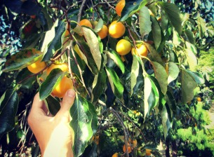 Persimmon trees along the hike.