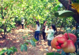 Malay apples orchard in Phuong Lam