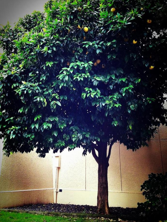 Lemon tree on Yokota Air Base