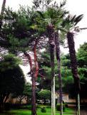 Palm trees on Yokota Air Base