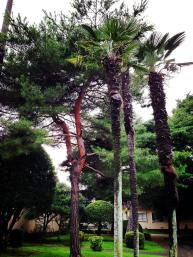 Palm trees on Yokota Air Base