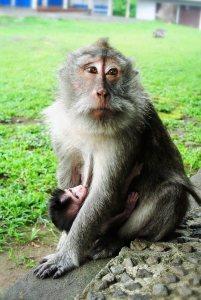 monkey_mom